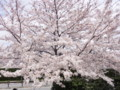 [その他]阪神競馬場の桜 2010.4.10 (2)