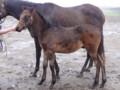[仔馬]リトルアマポーラの12 牡 父キングカメハメハ 白老F