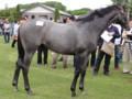 [出資馬]オルティアの11 牡 父チチカステナンゴ 社台ツアー2012
