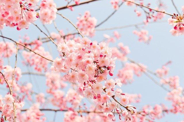 入学式の時期の桜のイメージ