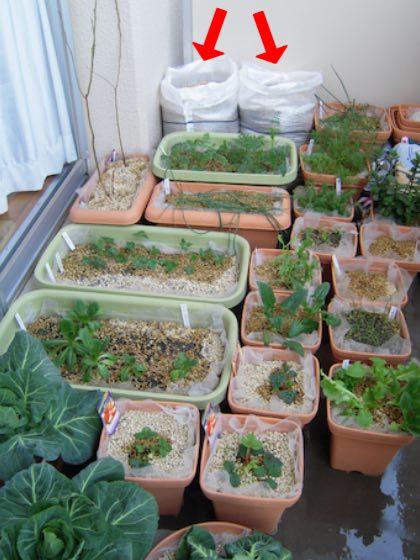 ジャガイモを袋栽培していた時の様子