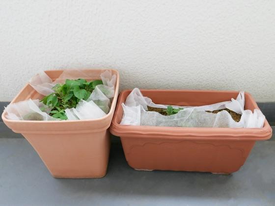 現在のジャガイモを植えた容器