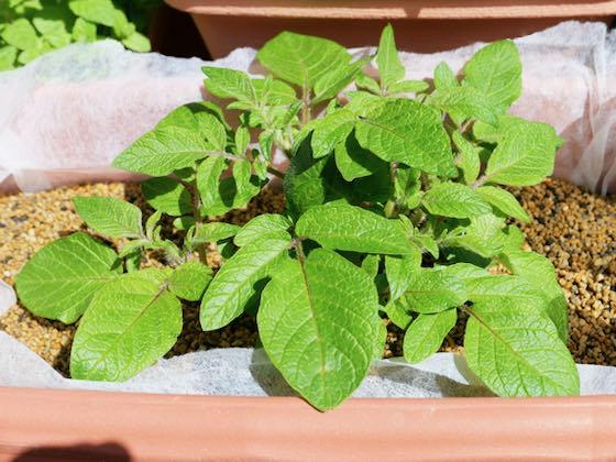 芽かきする前のプランターのジャガイモ