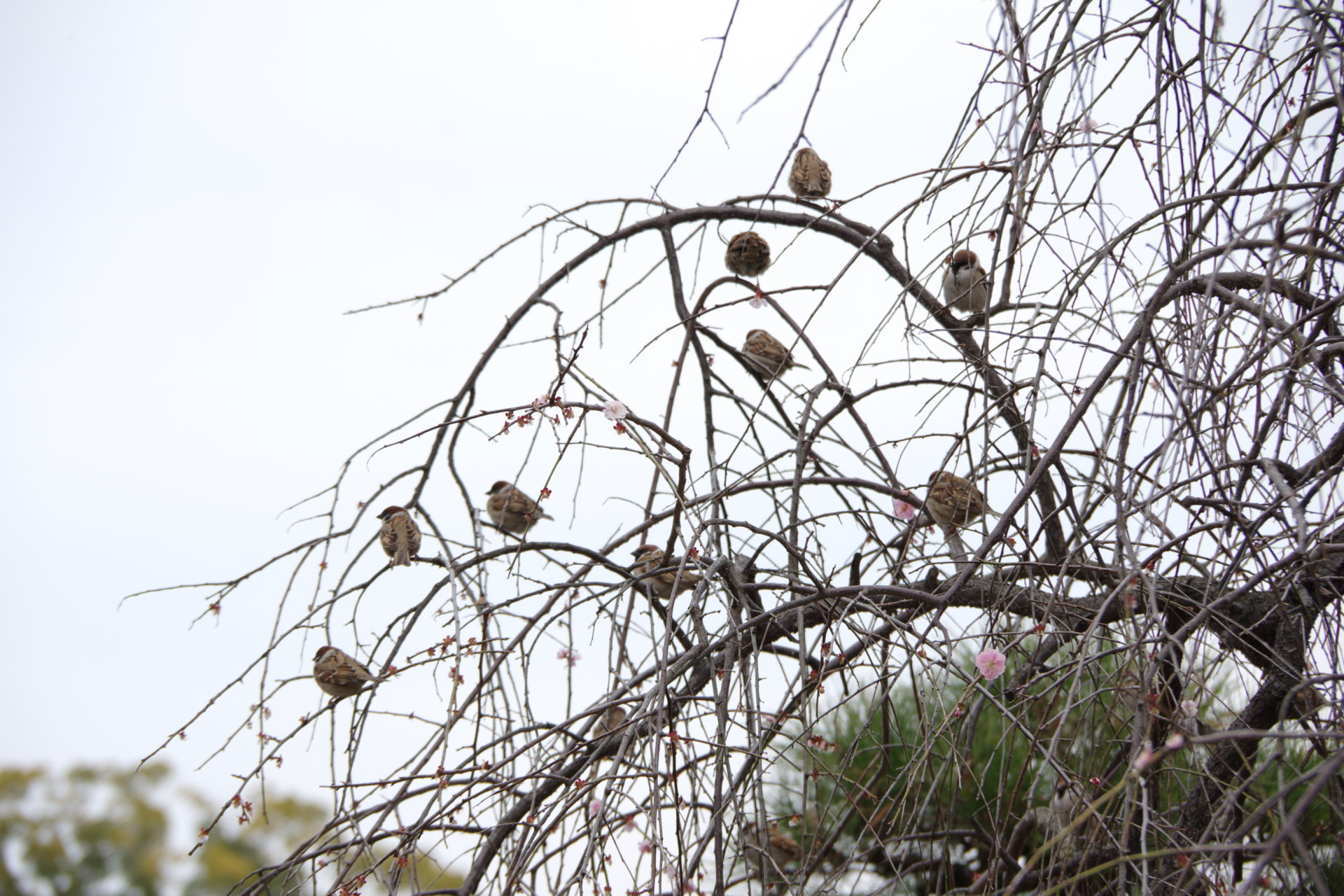 梢に集う雀
