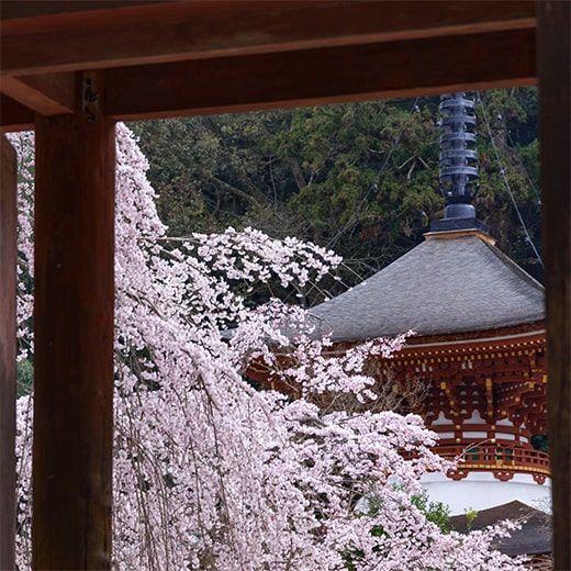 金剛寺の桜