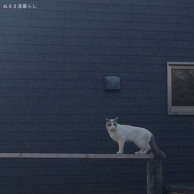 stray-cat-tanuki