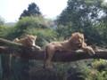 木の上で寝るライオンたち