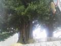 水戸の大銀杏の幹