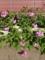 ばーちゃんの桜草
