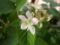 Blackberry, Rubus fruticosus 'Thornfree' (May 2017)