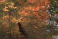 鶴仙渓 池に映る紅葉と鯉