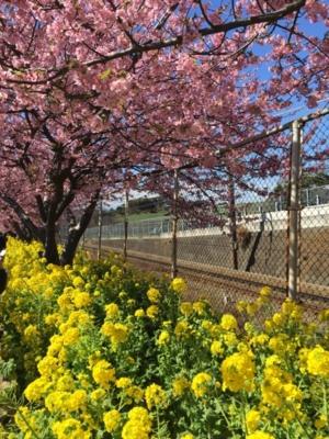 京急久里浜線、菜の花&河津桜