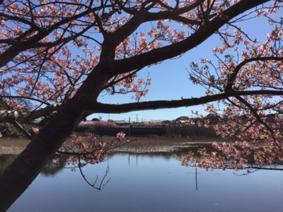 河津桜と京急久里浜線@小松ヶ池