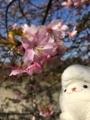 三浦海岸桜まつり(2018/02/17)