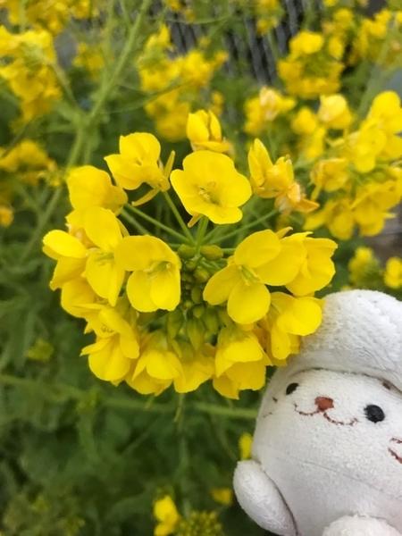 三浦海岸の菜の花