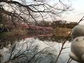 小松ヶ池の河津桜