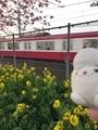 三浦海岸の河津桜と菜の花と京急