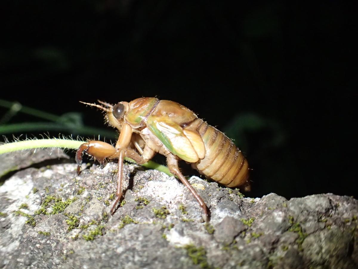 塀の上を歩くセミの幼虫