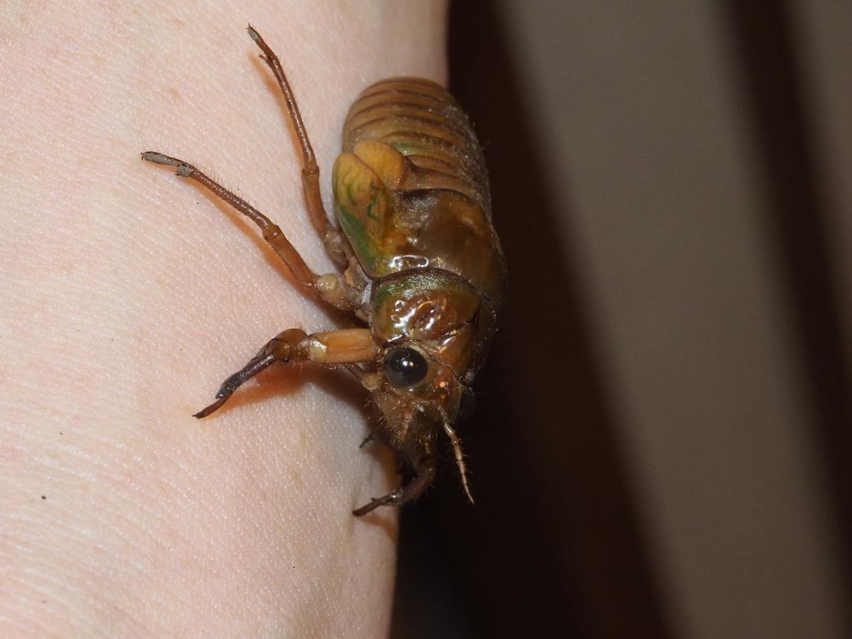 腕にしがみつくセミの幼虫