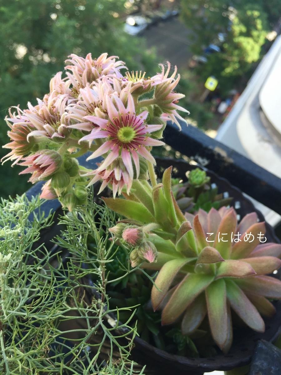 多肉植物のお花。