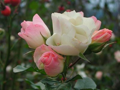 ローズヒップのバラ