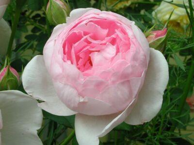 薔薇グレーテンド・ドルス
