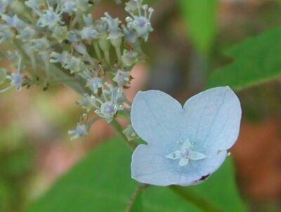 紫陽花 伊予の盃