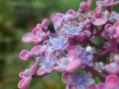 紫陽花 オタフクアジサイ