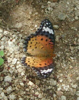 ツマグロヒョウモン 雌