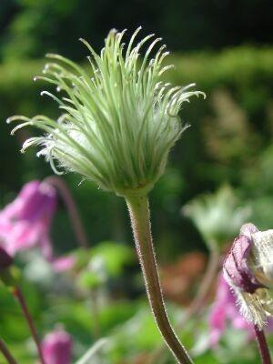 クレマチス 花のあと