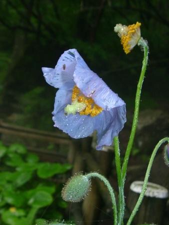 雨上がりのヒマラヤの青いケシ