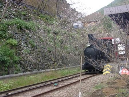 鉱山列車と冬桜
