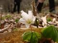 [花]コミヤマカタバミ