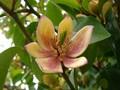 [花]カラタネオガタマ