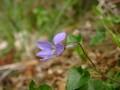 [花]タチツボスミレ