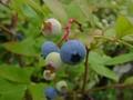 [花]ブルーベリーの実
