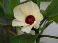 [花]ハイビスカスローゼル