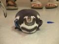 [鳥]フンボルトペンギン
