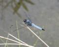 [蜻蛉]オオシオカラトンボ