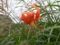 [花]コオニユリ