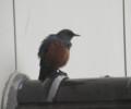 [鳥]イソヒヨドリ 雌