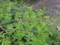 ジャケツイバラの葉