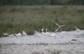 [鳥]ダイサギの群れ