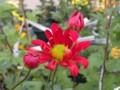 [花]菊(ことぶき)