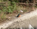 [鳥]カワセミ