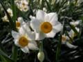 [花]水仙