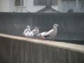 [鳥]カモメたち