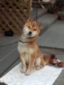 [犬]ぼくごんちゃんです。よろしくね