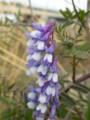 [花]クサフジ