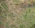 [鳥]カワセミのペア